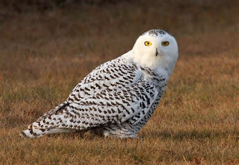wisconsin owls identification wisconsin continues to provide for excellent snowy owl viewing opportunities weekly news