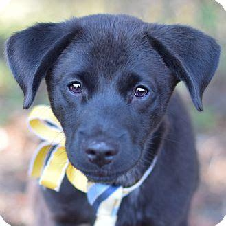 lab puppies denver colorado stewart adopted puppy denver co labrador retriever blue heeler mix