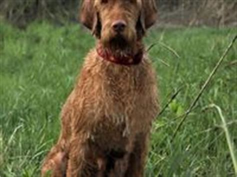 Do Vizsla Dogs Shed by 11 Best Images About Wirehaired Vizsla On