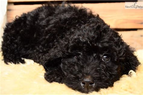 for puppies cost barbet puppies cost