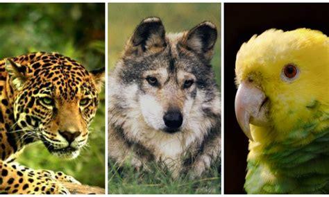 imagenes de animales de mexico top 5 animales en peligro de extinci 243 n en m 233 xico nota