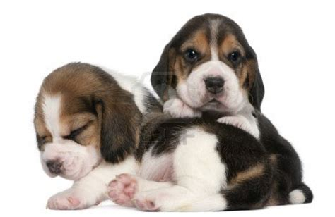 pics of beagle puppies black boxer breeders images
