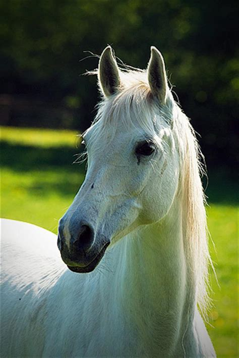 wallpaper for iphone horse white horse animal iphone wallpapers iphone 5 s 4 s 3g