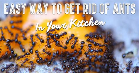 Getting Rid Of Ants In The Kitchen by Ridiculously Easy Way To Get Rid Of Ants In Your Kitchen