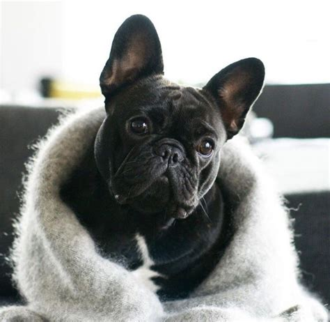 Nsweater Buldog 581 best images about frenchies bulldogs on