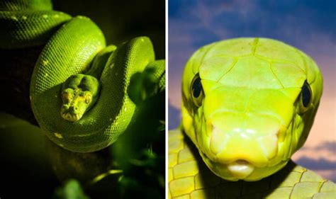 all the world is green one of the world s most venomous snakes the green mamba