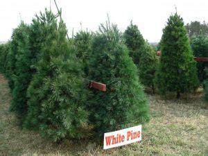tree talk illinois christmas tree association