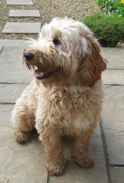 yorkie poo for sale hshire teddy grown breeds picture