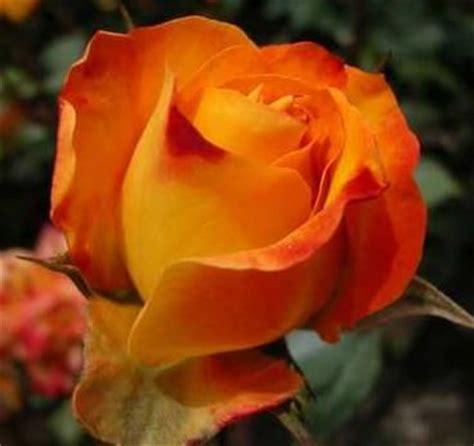imagenes flores naranjas rosas naranjas