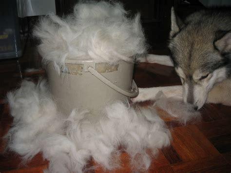 Husky Shed by Siberian Husky Shedding Breeds Picture
