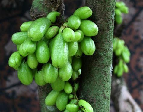 khasiat buah belimbing wuluh bagi kesehatan