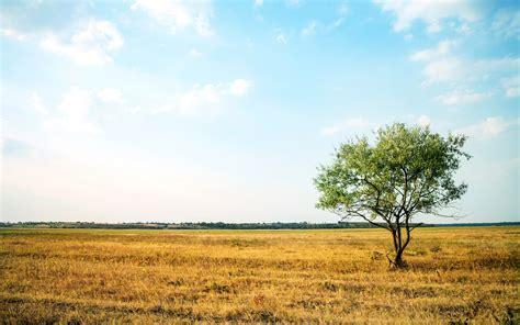 lone landscaping lone tree golden field wallpapers lone tree golden field stock photos