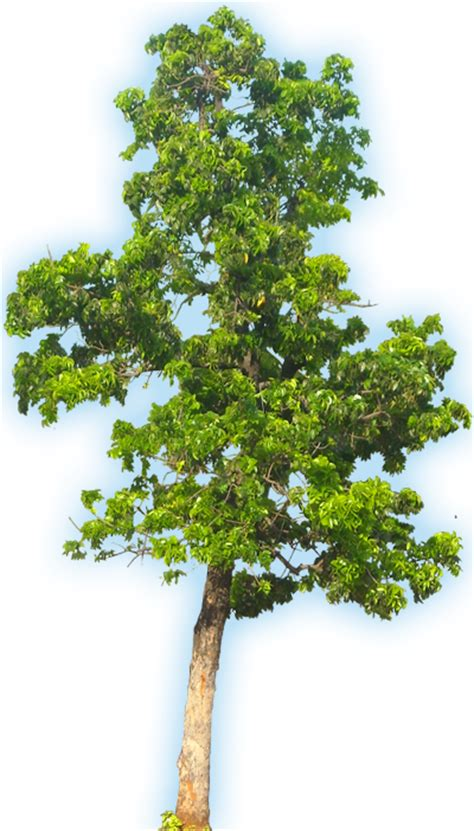 mahogany tree coloring page how to draw mahogany tree