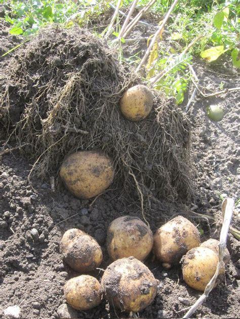 kartoffeln pflanzen anleitung 5122 kartoffeln pflanzen anleitung kartoffeln pflanzen