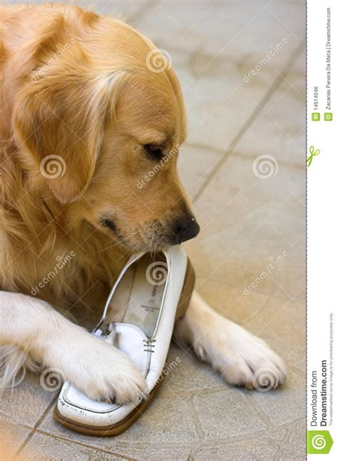 golden retriever shoes golden retriever chewing a shoe royalty free stock image image 14614046