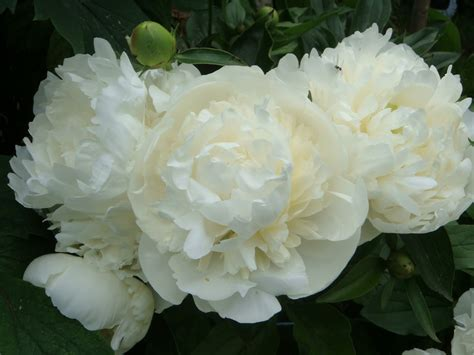 peonia fiori unbrivido peonie bianche