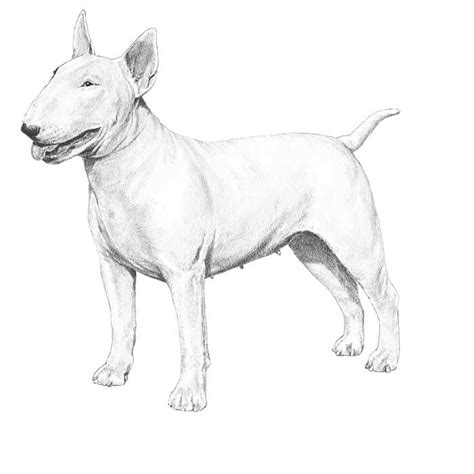 y i c s book of terrier care books bull terrier breed information american kennel club