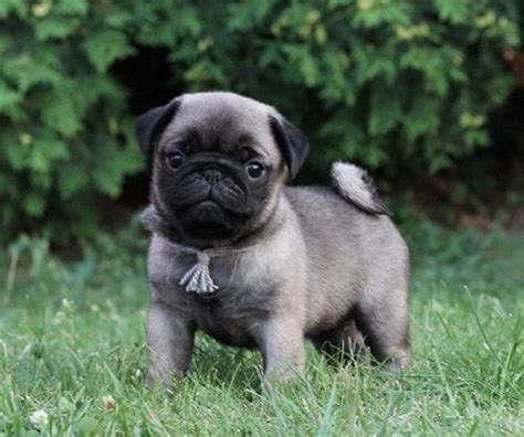 where can i get a pug puppy for free 1233 best pug puppies images on baby pugs pug puppies and