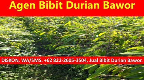 Agen Bibit Durian Bawor sale wa 62 822 2605 3504 harga bibit durian bawor