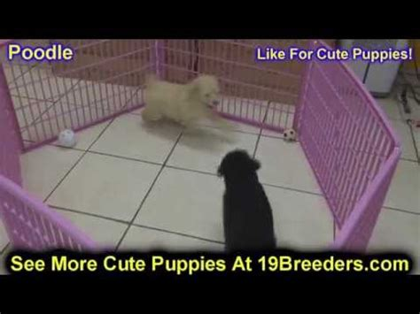 puppies for sale fort collins cairn terrier puppies for sale in des moines iowa ia bettendorf marion cedar