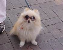 teacup pomeranian grown wearing quot shades quot grown teacup pomeranian my granddoggies pugs poms