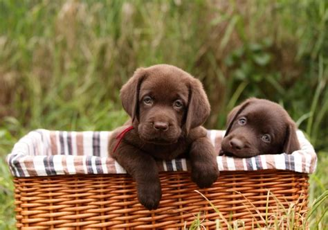 chocolate lab puppy pictures chocolate lab puppy names slideshow