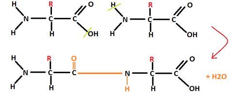protein diagram as biology katy s studies