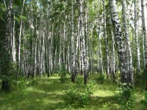 panoramio photo of birch forest