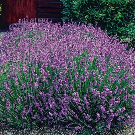 when is lavender in season in michigan 10 best images about sun plants for fall on pinterest