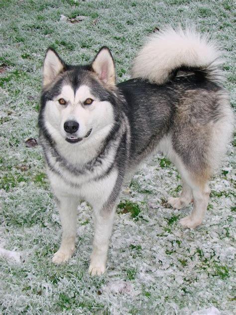 alaska list dogs alaskan malamute wallpapers breeds picture