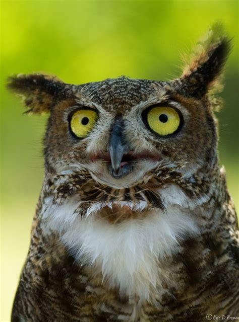 19 best images about owls on pinterest owls owl and les 100 photos de hiboux les plus belles de tous les temps