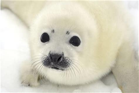 puppy seal harp seal pup baby seal