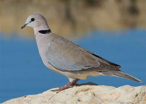 grey dove with black ring around neck ring necked dove