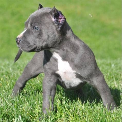 Blue Nose Pits For Sale In Michigan American Pitbull Terrier Pitbull Blue