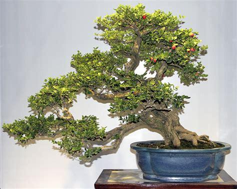 Flowering Quince Tree - carissa macrocarpa bonsai www galleryhip com the
