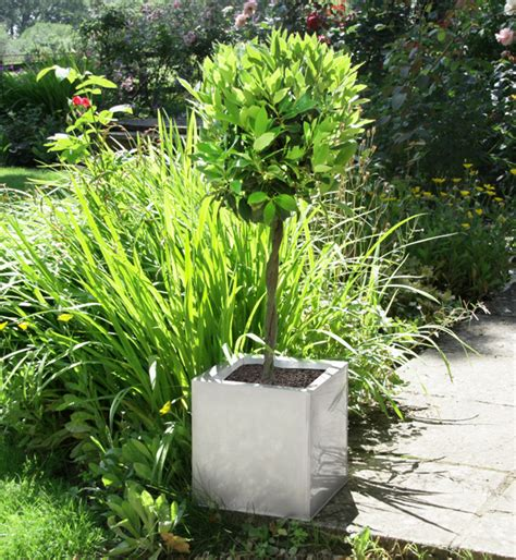 Bay Tree Planter by Laurus Nobilis Bay Tree With Plaited Stem 1 2 Standard And