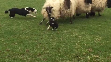 sheep puppy brave sheep dogs day on 1funny