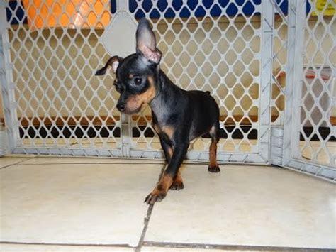 puppies for sale in mcallen tx miniature pinscher puppies for sale in bridgeport connecticut ct newington