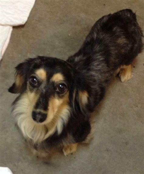 petfinder puppy petfinder dachshund breeds picture