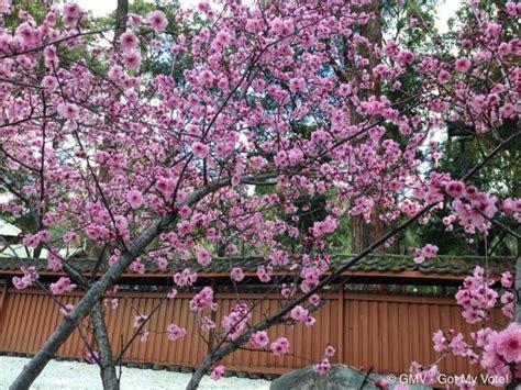 cherry blossom botanical garden auburn cherry blossom festival 2015 sydney