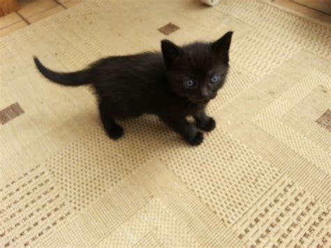 kitten for sale black kittens for sale pets for sale