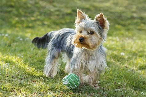 yorkie ear infection symptoms how to stop aggressive behavior in my yorkie cuteness