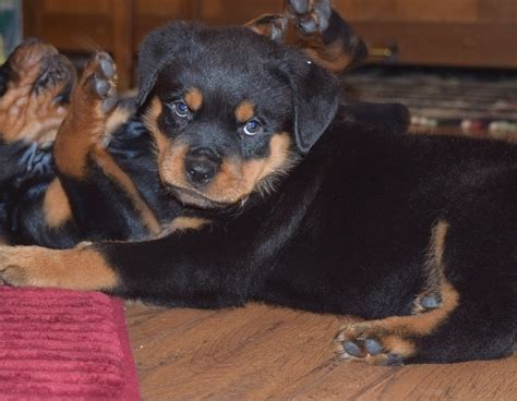 german rottweiler puppies for sale in pa rottweiler puppies for sale philadelphia pa 199152