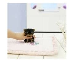 yorkie puppies for sale in rockford illinois gorgeous teacup yorkie available tiny animals rockford illinois