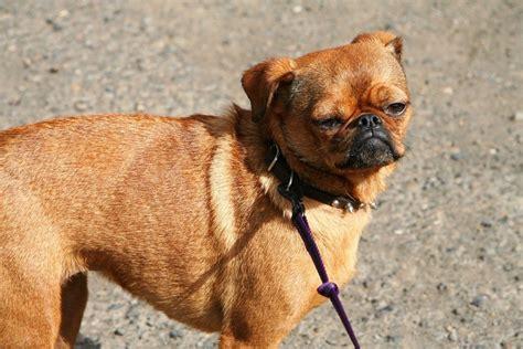 yorkie con chihuahua cruzas de razas de perros que simplemente te enamoraran
