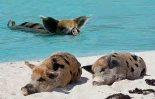 Extreme Cuteness Pig Beach Bahamas ? Extreme Outdoor