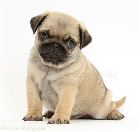 pug puppies in louisiana pug doguillo carlin pug puppies pug cachorro perritos bebes