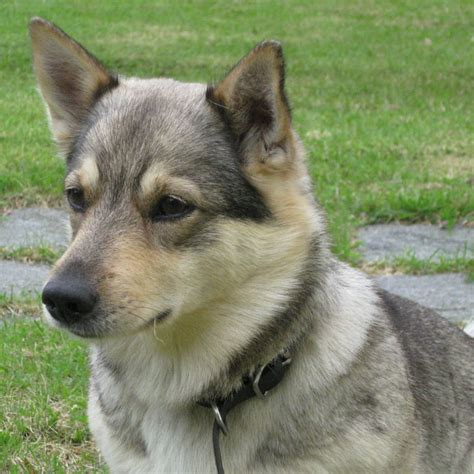 swedish breeds pin swedish vallhund breeds on