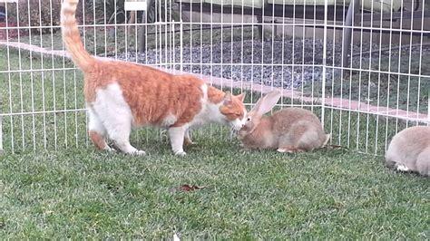 Baby Flamish flemish babies meet the cat baron