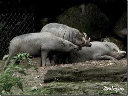 Taring Babi Sepasang 3 malaysian 2 0 kegunaan taring babi hutan